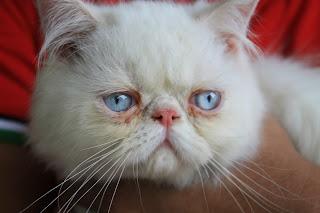 Kucing parsi mata biru