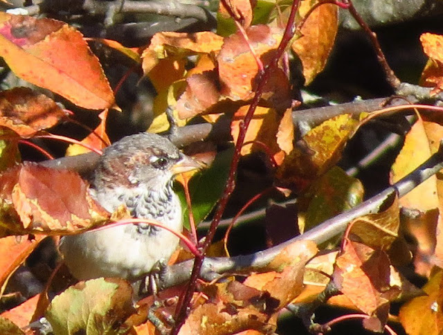 house sparrow in fall colors