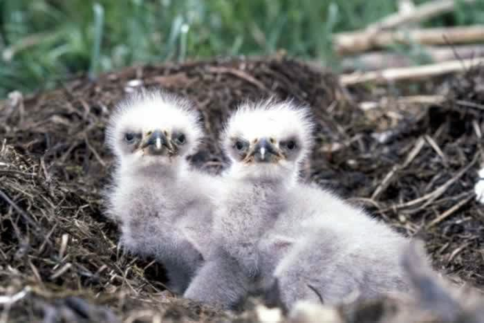 Chick bald eagles - 1st fact