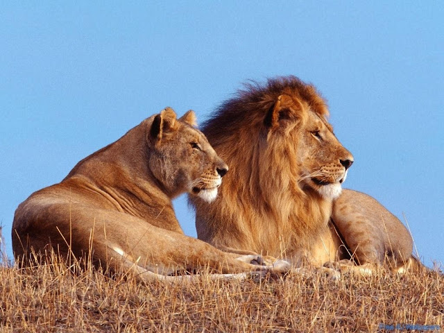 Male Lion & Female Lion