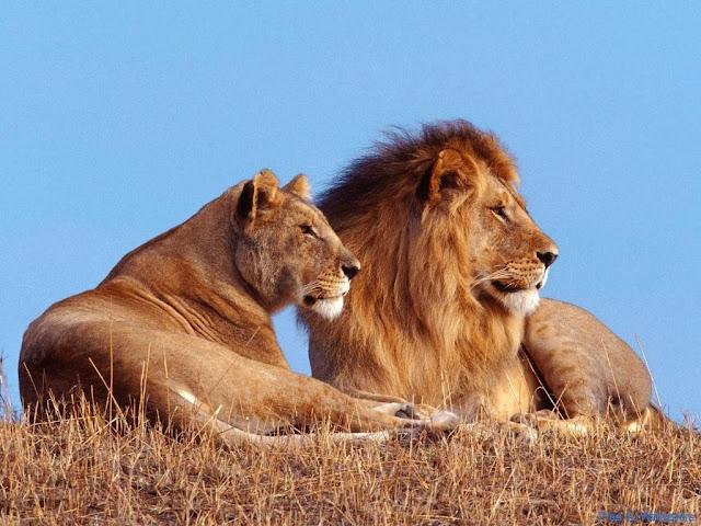 Male Lion & Female Lion