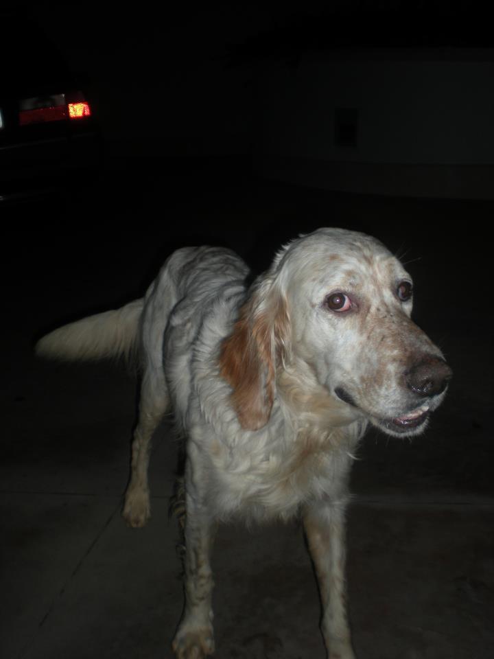 Animali smarriti o trovati sperlonga lt trovato cane for Cane setter