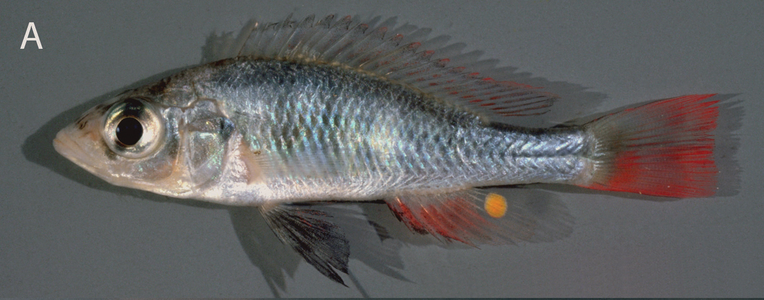Sciency Thoughts: Two new species of Cichlid Fish from ...