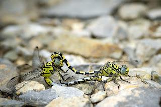 Para ampliar Onychogomphus forcipatus (Libélula tigre) hacer clic