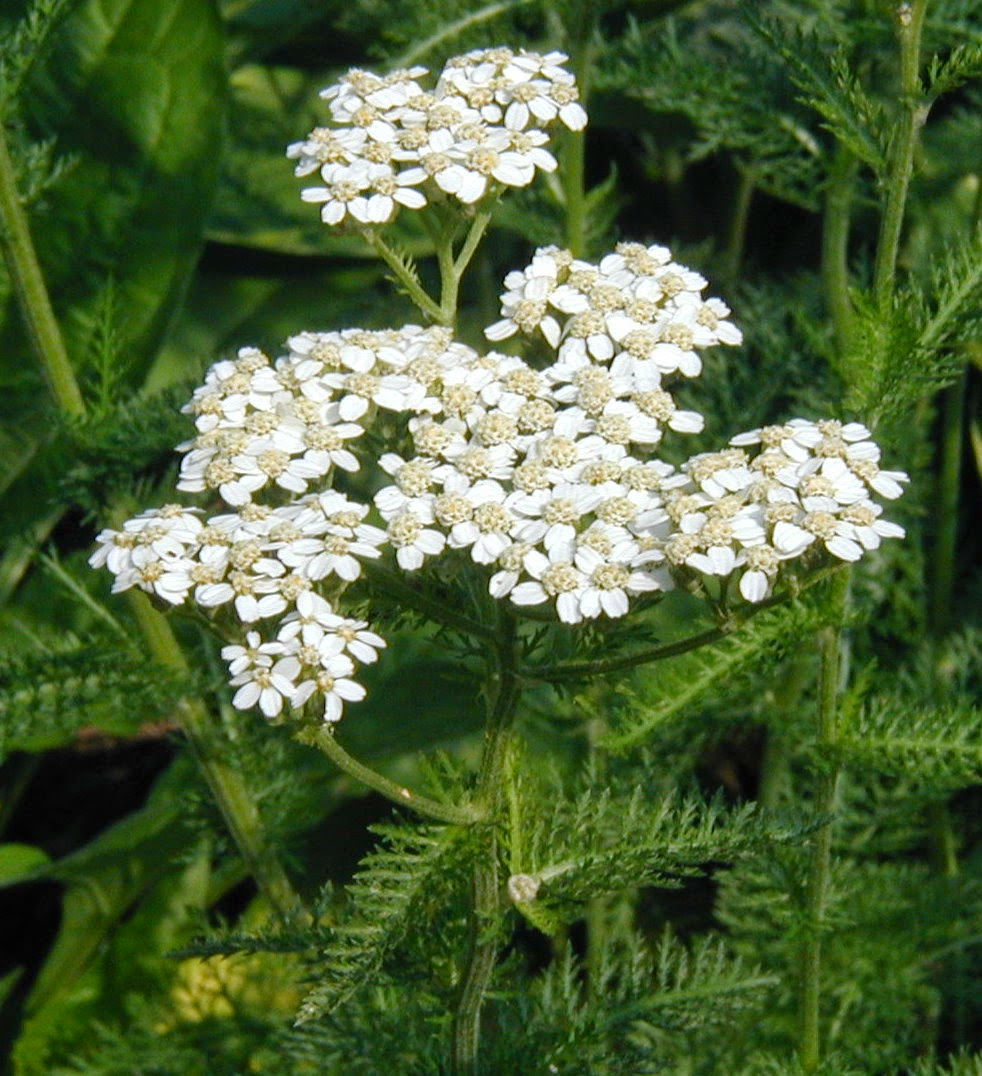 Benefits Of Yarrow (Achillea Millefolium) Herb For Health