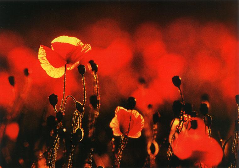 Цветы маки вязаные крючком