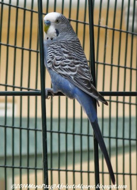 blue love bird