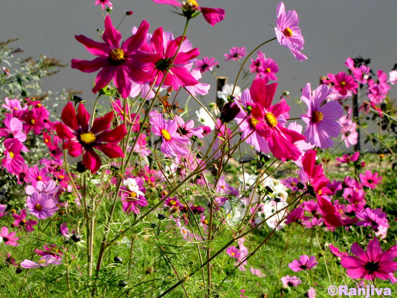 Des fleurs champ tres et le printemps paysages et fleurs for Fleurs et fleurs