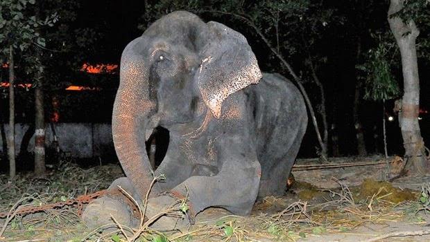 Raju, Gajah Malang ini Akhirnya Bebas Setelah 50 Tahun di Rantai