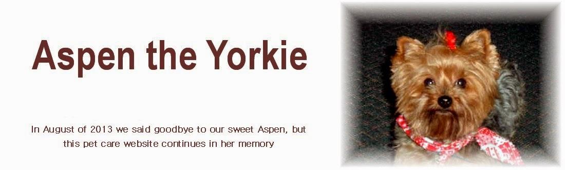 Aspen the Yorkie