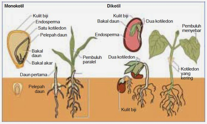 BIOLOGI GONZAGA: MONOKOTIL - DIKOTIL