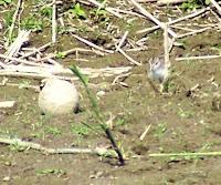Fledgling Spotted Sandpiper
