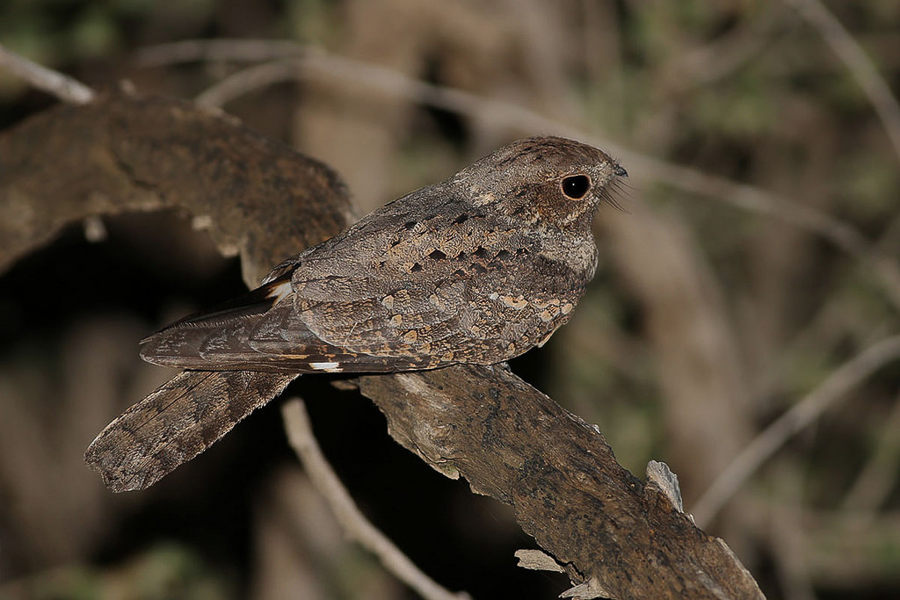 Plain Nightjar