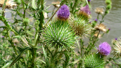 Common Thistle (Cirsium Vulgare) Overview, Health Benefits, Side effects