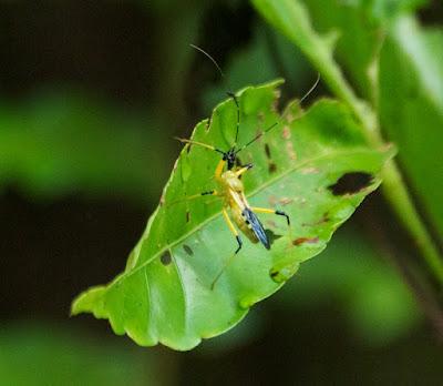 Assassin bug (Reduviidae)