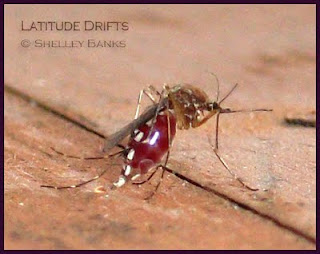 Aedes vexans mosquito - photo by Shelley Banks