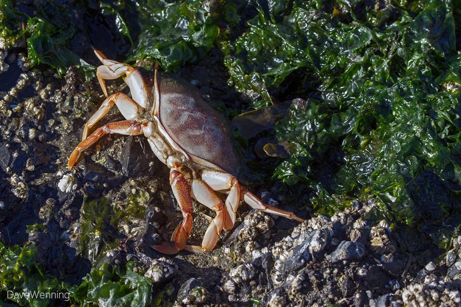 Dungeness Crab Molt