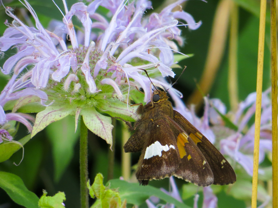 Butterfly on Purple Bergamot