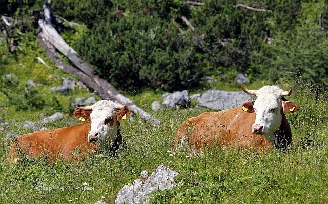 Ochsen auf einer Alm in Österreich