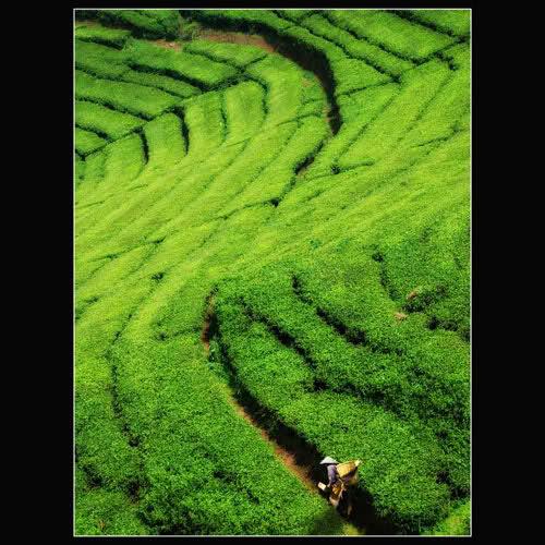 hamparan teh hijau