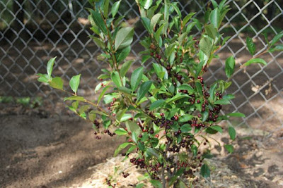 Black Chokeberry (Aronia melanocarpa) the year it was planted