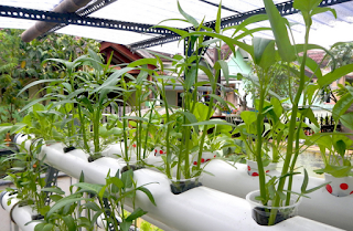 Penanaman Tanaman Sayuran  Hidroponik