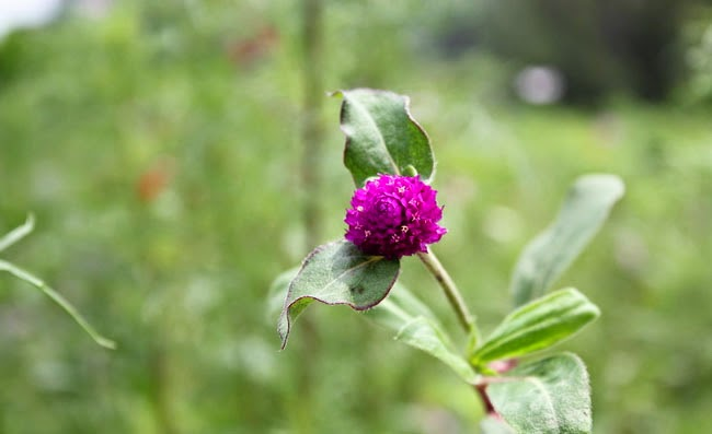 Gomphrena Flowers Pictures