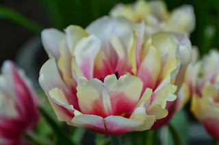 double tulips in pink and yellow