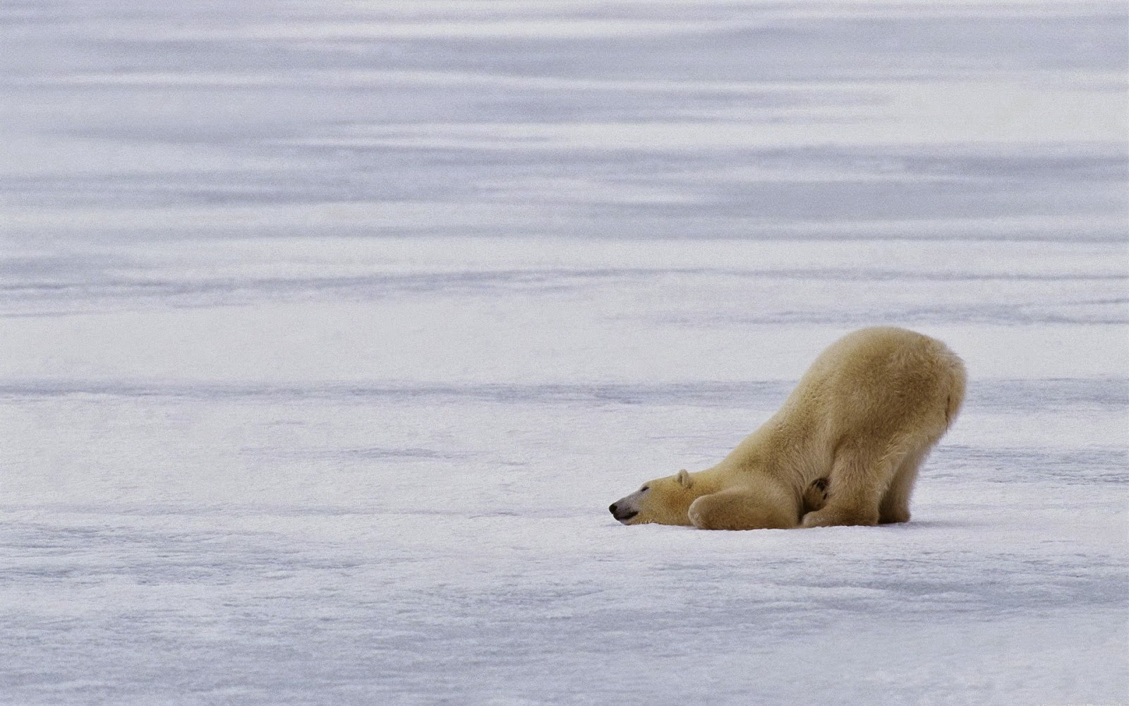 "A polar bear near the North Pole. ""The Arctic is warming faster than any other region on Earth,"" Secretary of State John Kerry said in assuming eadership of the eight-nation Arctic Council. (Credit: photolabels.co) Click to Enlarge."
