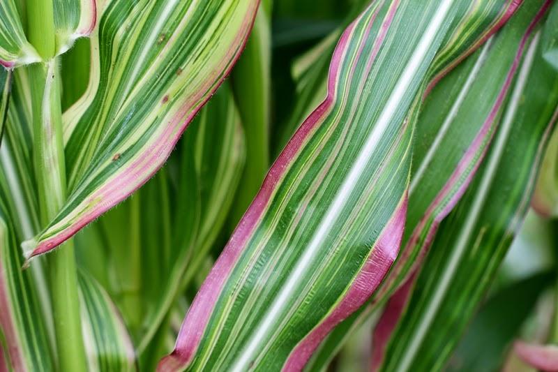 Japonica Striped Maize, Seed Savers Exchange, Decorah, Iowa