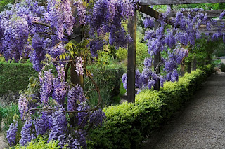 Wisteria Flowers Garden