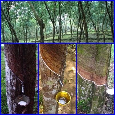 Extracción del latex de los árboles del caucho
