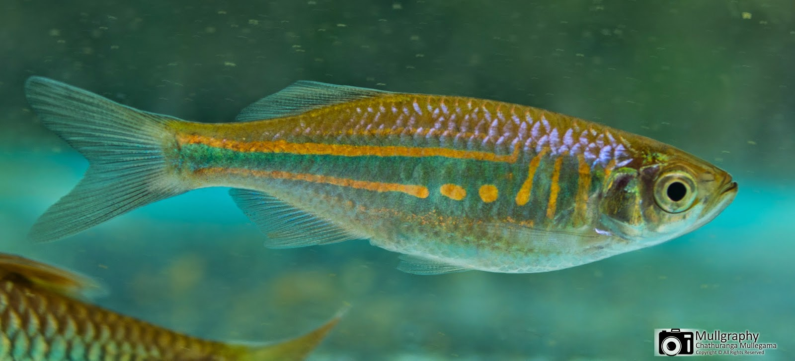 Danio malabaricus giant danio dankola salaya for Giant danio fish