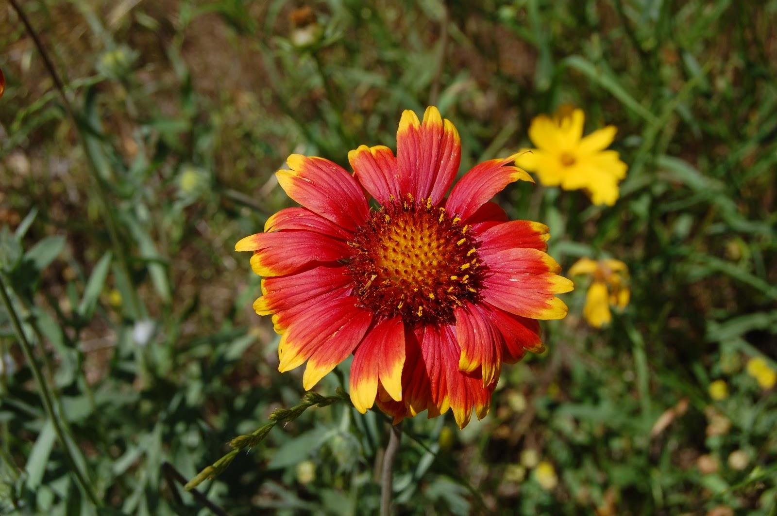 """Brenda s """"Texas Wild"""" Garden Indian Blanket Gaillardia pulche"""
