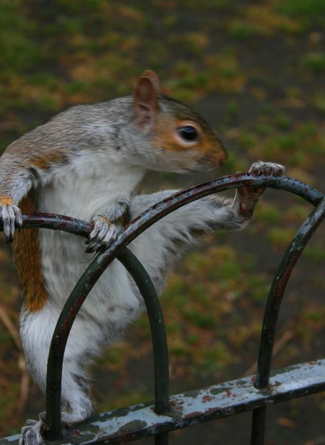 funny animal pictures, squirrel climbs fence
