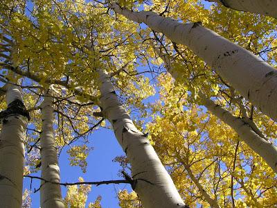 quaking aspen 6 Jenis tumbuhan tertua di dunia