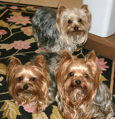 My yorkies