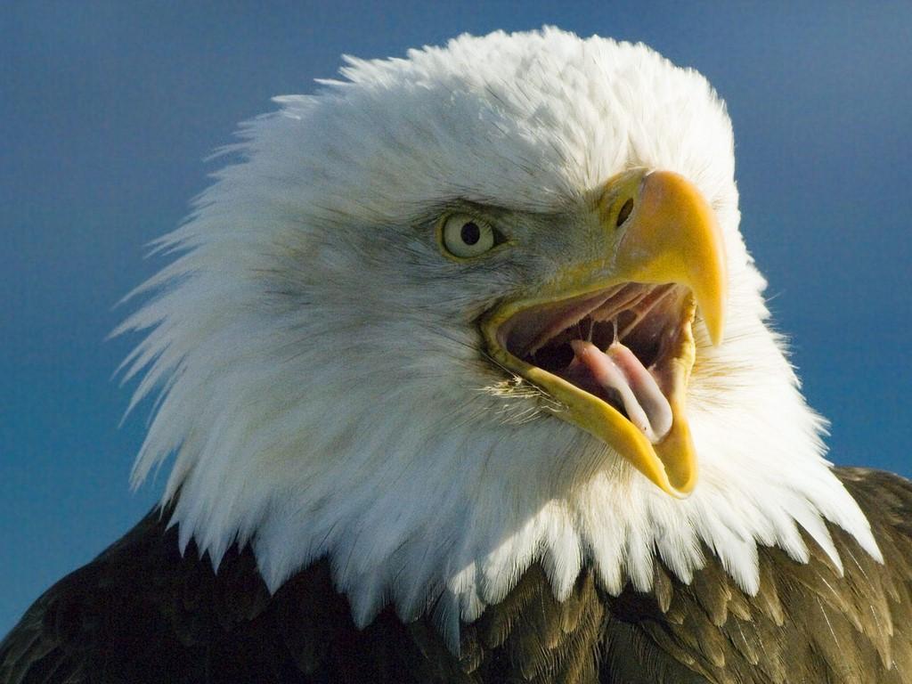 http://4.bp.blogspot.com/-s1wGTdn5eMw/TmmOmY5Df3I/AAAAAAAAALI/P9VLX79IdHQ/s1600/bald-eagle-background-3-733825.jpg