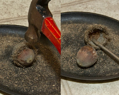 shelling a burr oak acorn