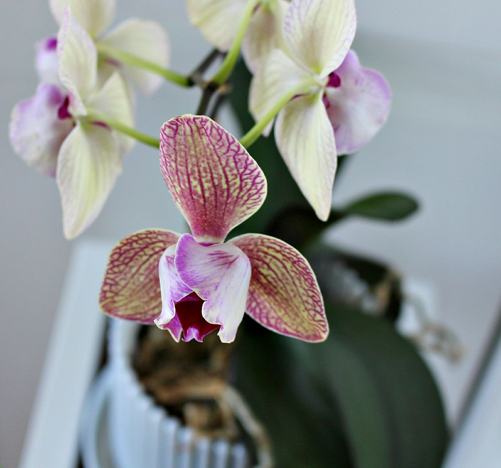 Purple and pink orchid