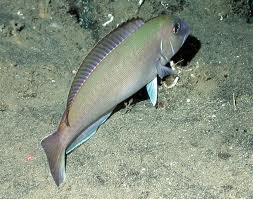 TileFish