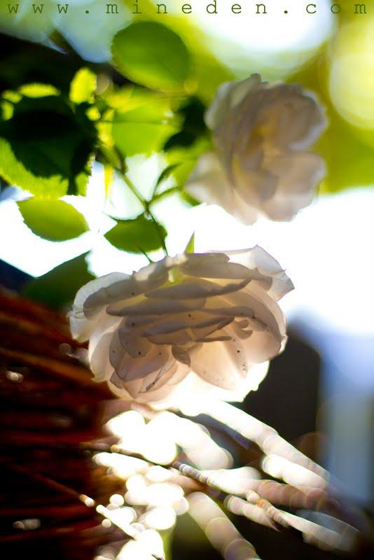 Rosa Aspirin Rose www.mineden.com