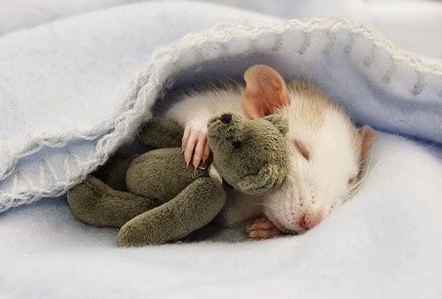 gambar hamster comel