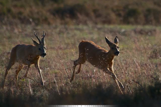 Reebok achtervolgt Reegeit - Roe buck chases female