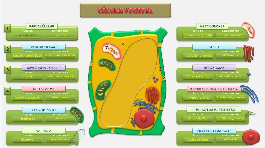 celula animal y celula vegetal. celula animal y vegetal. a las