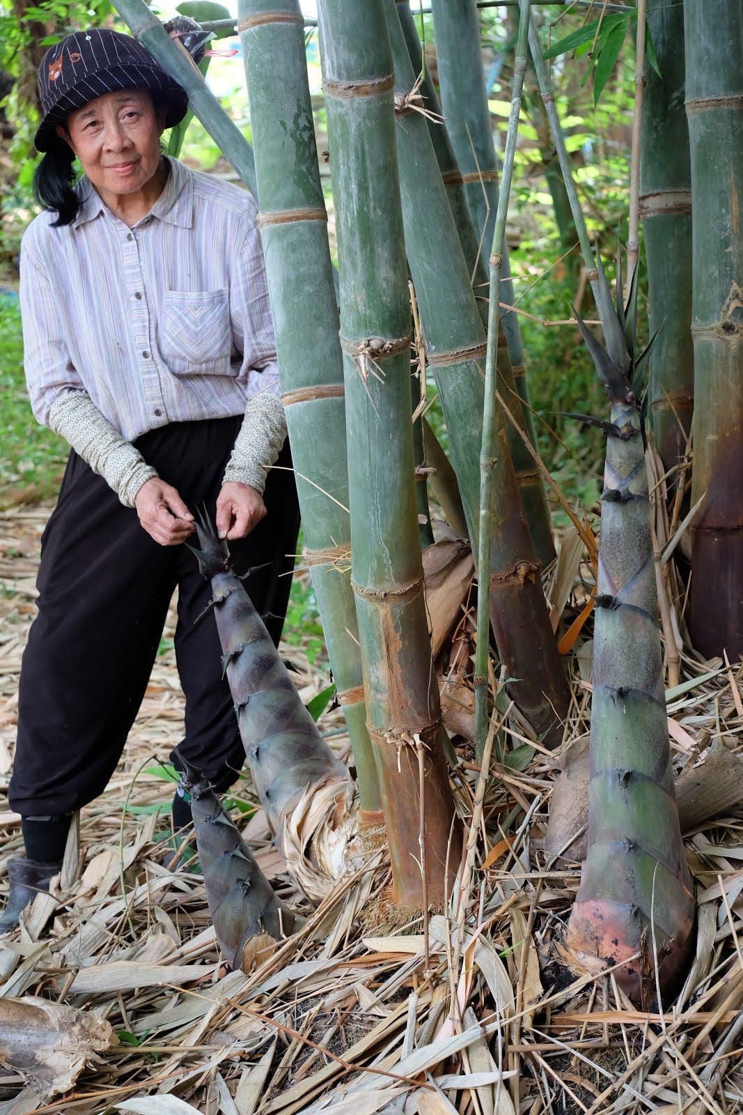 หน่อไม้พันธุ์ไผ่จีน