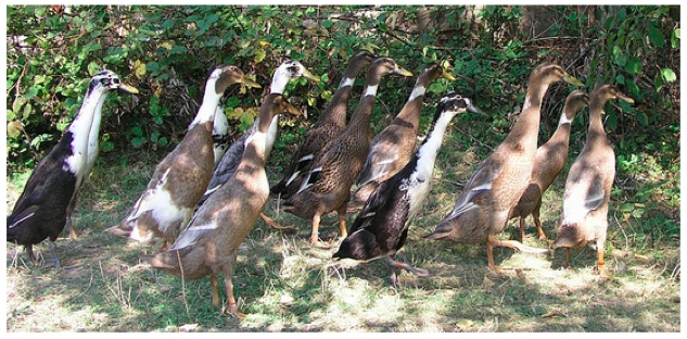 this post provides an to raising ducks followed by a description with photographs of six duck breeds you might be interested in raising on - Duck Breeds