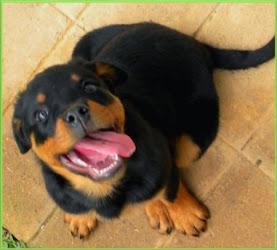 Você conhece a história do Rottweiler? Clique na foto e conheça um pouco sobre esse magnífico cão!