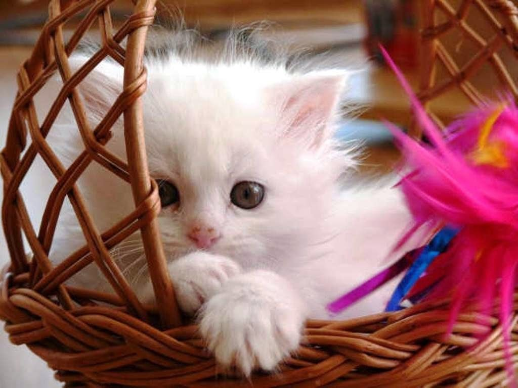 baby-cat-wallpaper.jpg
