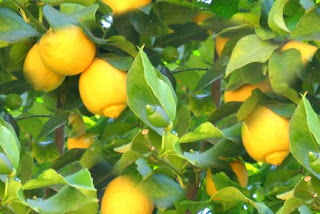 lemons tree picture